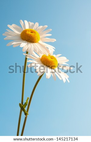 Two beautiful white flowers daisies over clear blue sky. Summer concept, vertical, copy space - stock photo