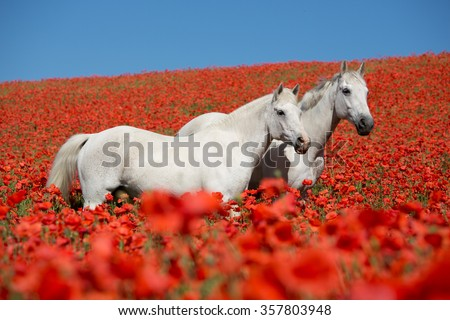 Two beautiful white horses posing in a red poppy  - stock photo