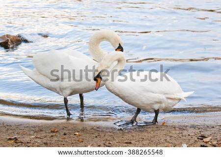 Two beautiful white swans - stock photo