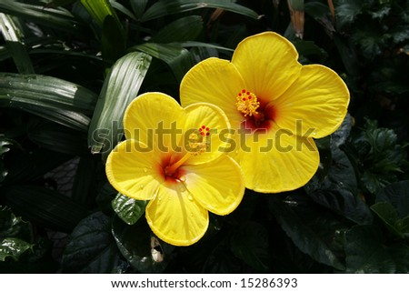 two beautiful yellow hibiscus flowers