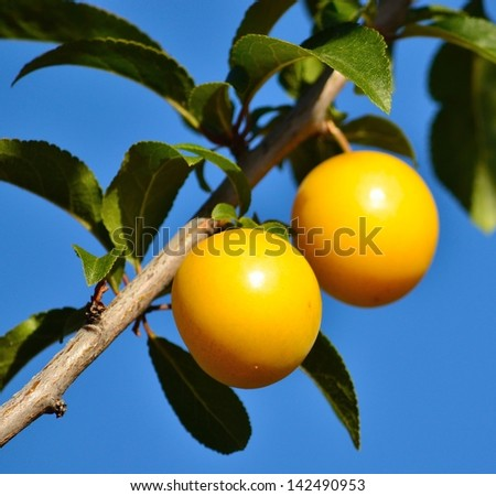 Two beautiful yellow plums hanging from a small  tree branch with green leaves, on splendid blue sky background