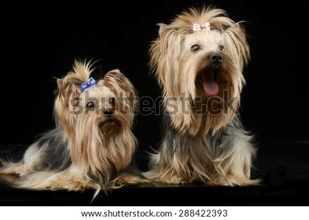 two beautiful yorkshire terriers sitting and lying in a shiny black studio floor