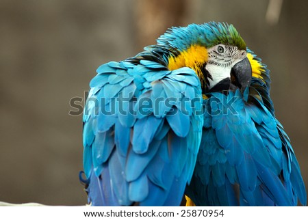 Two beautifully colorful blue parrots clean each other
