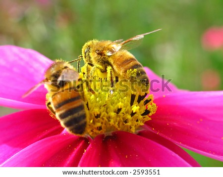Two bees gathering nectar - stock photo