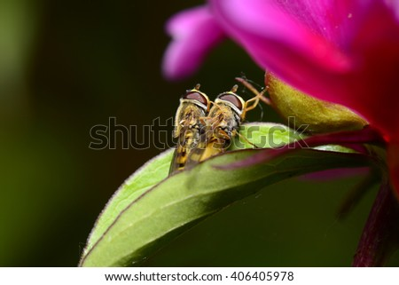 Two bees in mating
