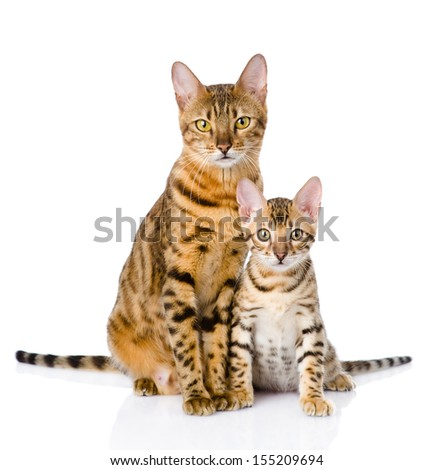 two bengal cats. mother cat and cub. isolated on white background - stock photo