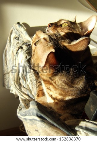 Two bengal cats playing and looking up on light background taken at home - stock photo
