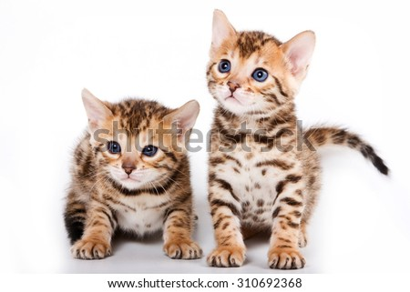 Two Bengal kitten (isolated on white) - stock photo