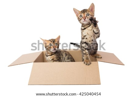 two Bengal kittens in a cardboard box - stock photo