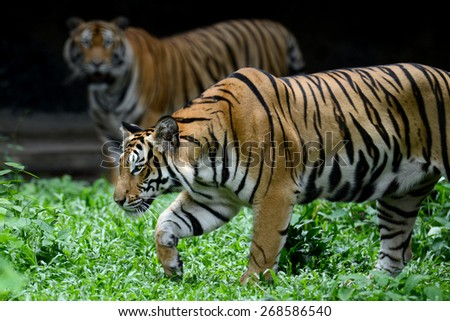 Two Bengal Tiger full length of body show striped skin - stock photo
