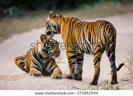 Two Bengal tiger lying on the road in the jungle. India. Bandhavgarh National Park. Madhya Pradesh. An excellent illustration. - stock photo