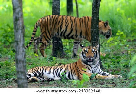Two Bengal tigers in jungle - stock photo