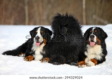 Two Bernese mountain dog and a black poodle lying on the snow in the winter