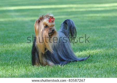Two Bernese Mountain Dog portrait in garden - stock photo