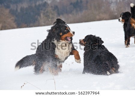 Two bernese mountain dogs playing in snow - stock photo