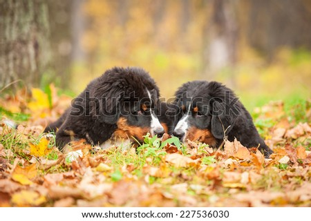 Two bernese mountain puppies in the park in autumn - stock photo
