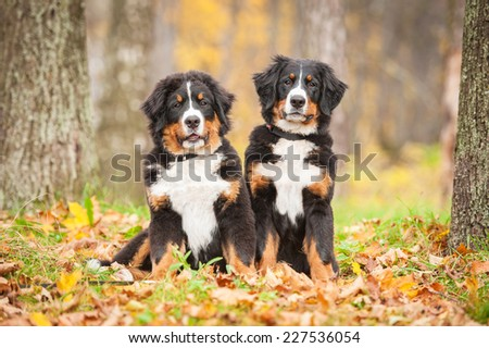 Two bernese mountain puppies sitting in the park in autumn - stock photo