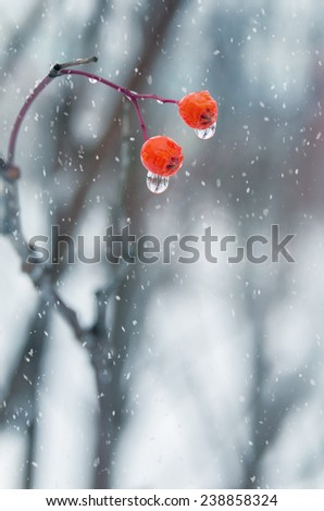 Two berries of a mountain ash with water drops - stock photo