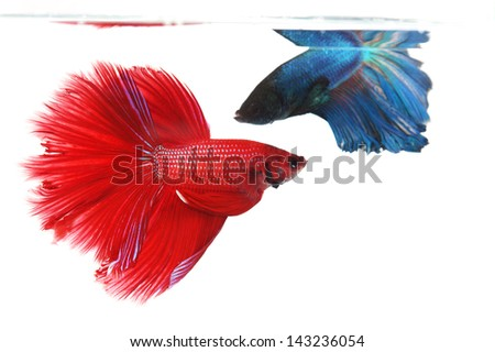 Two betta fishes, siamese fighting fish isolated on white background  Crown tail
