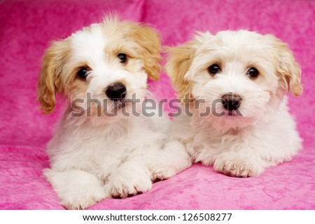 Two Bichon Frise cross puppies laid on a pink mottled background