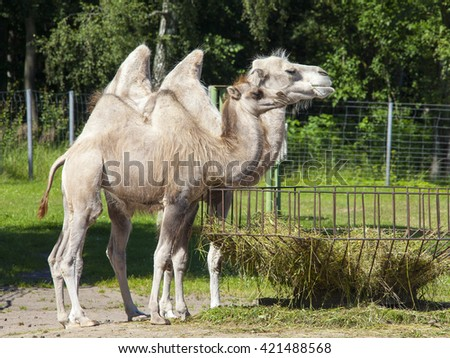 two big and fanny camels in the zoo - stock photo