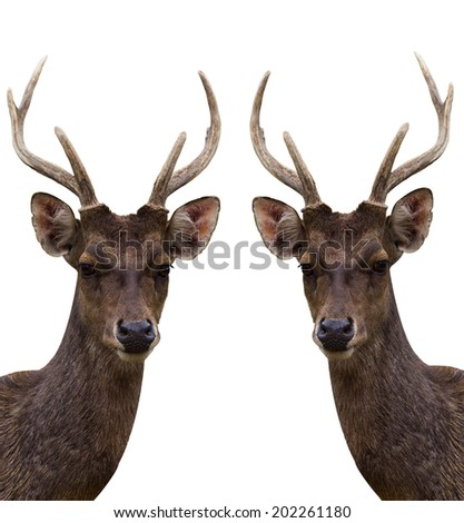 Two Big deer on white background - stock photo