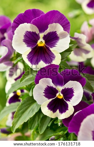 Two big flowers of garden pansies in purple and white color - stock photo