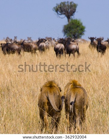 Two big male lions on the hunt. National Park. Kenya. Tanzania. Masai Mara. Serengeti. An excellent illustration. - stock photo