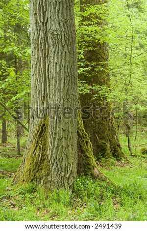 Two big oaks in natural deciduous forest,early summer, Europe,Poland,Bialowieza Forest - stock photo