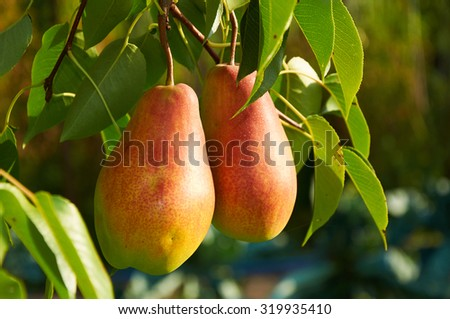 Two big ripe red yellow pear fruit on the tree - stock photo