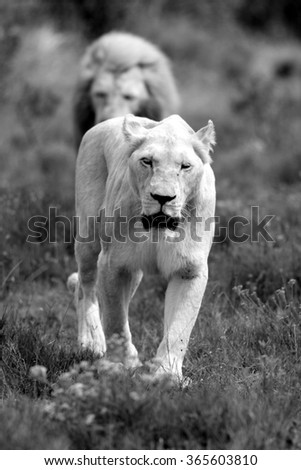 Two big white lions, a male and female approach,walking straight towards the camera,in this beautiful low angle profile portrait taken on safari in the eastern cape,south africa - stock photo