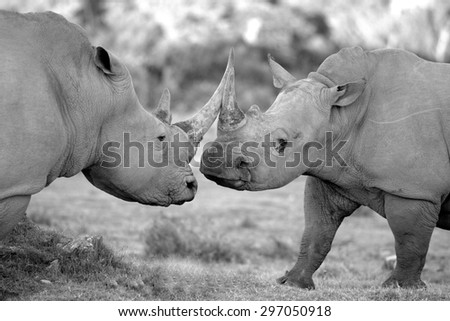 Two big white rhino / rhinoceros fight and clash horns together in this territorial battle photographed in South Africa - stock photo