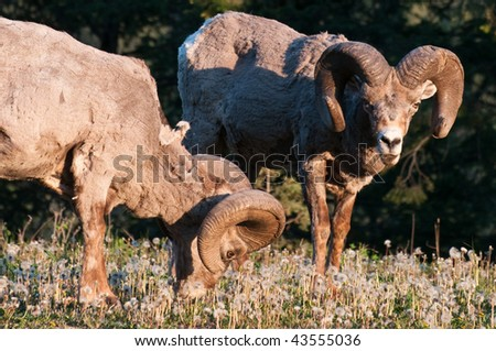 Two bighorn sheep (Ovis canadensis) - stock photo