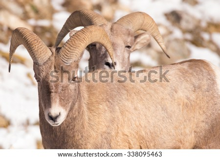 Two bighorn sheep with one standing behind the other in late fall with snow on the ground. Photographed in Montana.