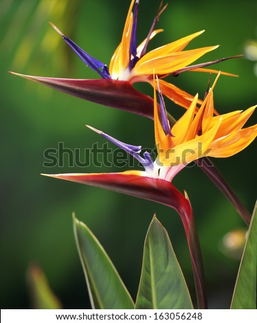 Two Bird of Paradise flowers in natural background. Hawaii, Maui, USA - stock photo