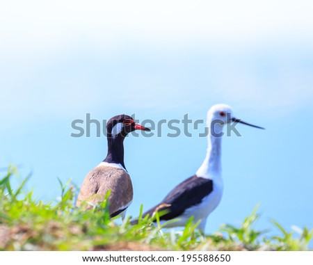 two birds,BLACK-WINGED STILT and  red-wattled lapwing bird - stock photo