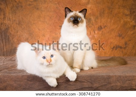 Two Birman cats sitting on brown mottled background - stock photo