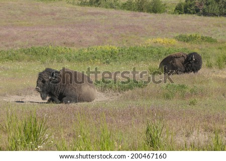 Two bison laying down in the field at the National Elk and Bison Range in Montana. - stock photo