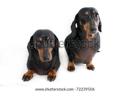 Two black and brown Dachshund dogs