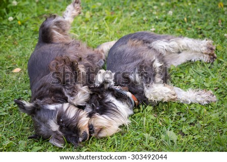 two black and silver miniature schnauzer dogs laying playful on the grass - stock photo