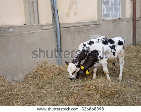 Two black and white calves, Friesian, Holstein, indoors. Tagged. Farming. - stock photo
