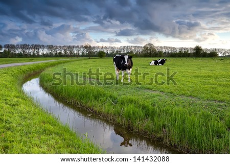 two black and white cows on pasture after storm, Netherlands - stock photo