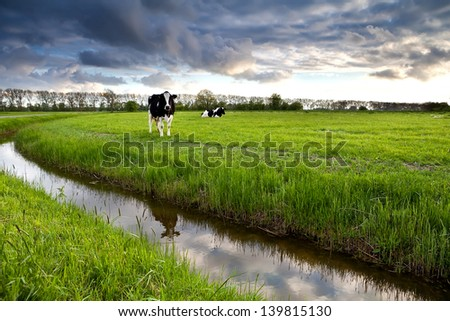 two black and white cows on pasture before sunset - stock photo
