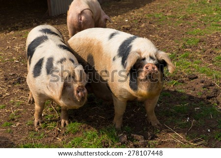 Two black and white pigs with spots in a field - stock photo