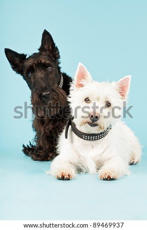 Two black and white scottish terriers isolated on light blue background