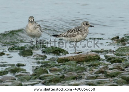 Two Black-bellied Plovers wading in the shallow water.