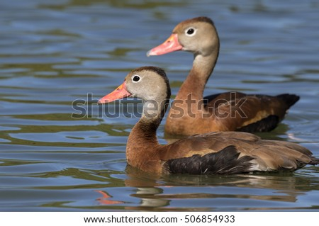 Two Black-bellied whistling ducks (Dendrocygna autumnalis) in water, Brazos Bend State Park, Needville, Texas, USA.