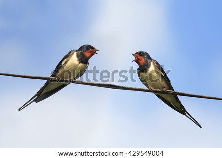 two black birds swallows sitting on wires on blue sky background - stock photo
