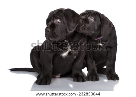 two black cane corso puppies - stock photo