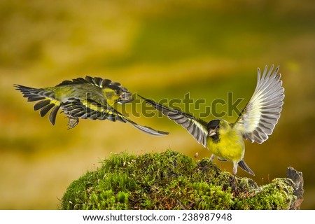 Two Black-chinned siskin (Carduelis barbata) males fighting for food and territory. Patagonia, Argentina, South America.